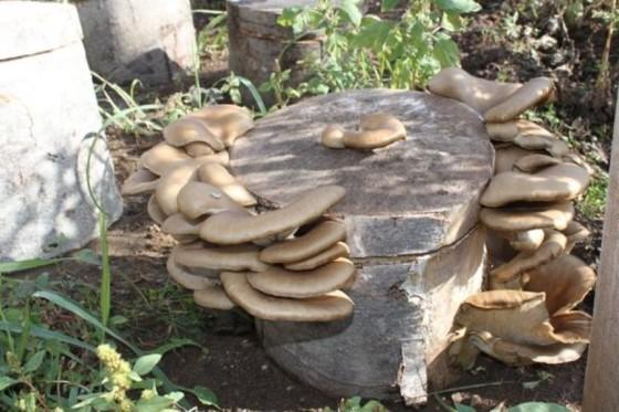 Kütükte istiridye mantarı yetiştiriciliği