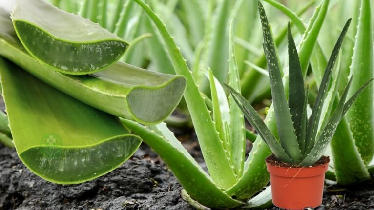 Aloe Vera Bitkisi Bakımı