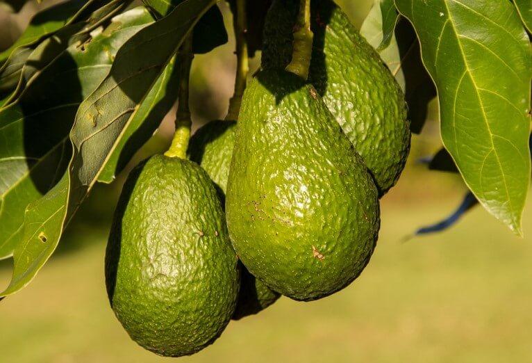 Avokado Ağacı