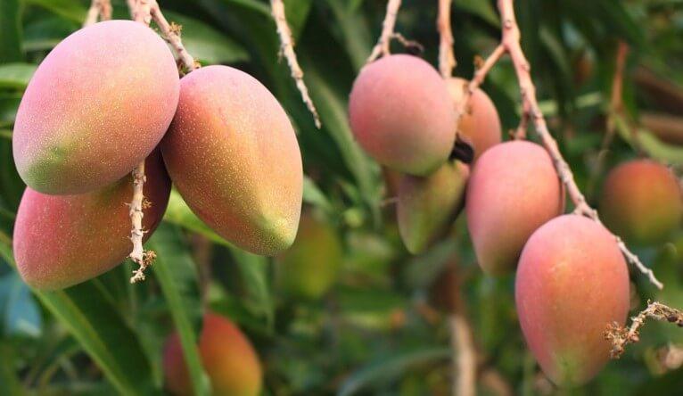 Mango Ağacı