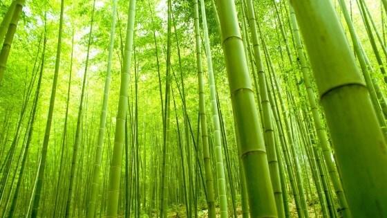 Bambo ağacı nasıl yetişir2
