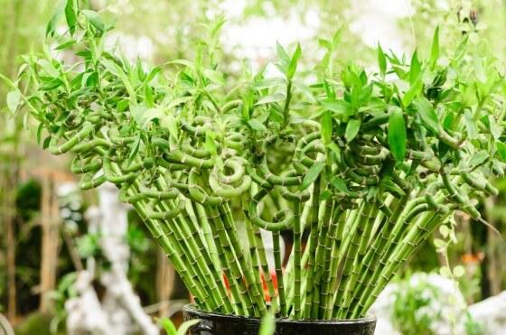Bambu çiçeği çoğaltma