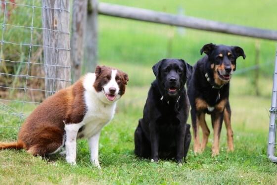Köpek Çiftliği