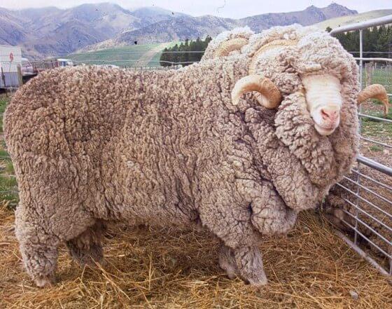 Merinos Koyunu Yetiştiriciliği