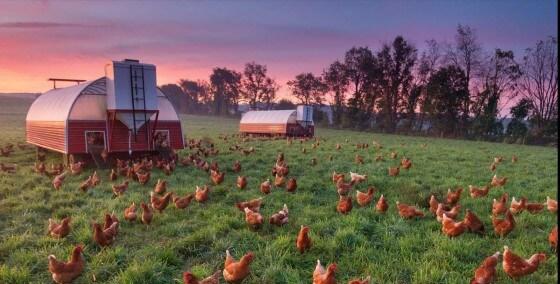 Salma (gezen ) Tavuk Yetiştiriciliği