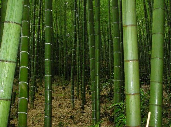 bambu ağacı yetiştirme