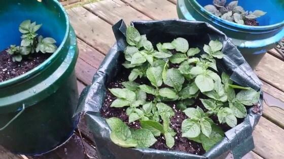 Çuvalda patates yetiştiriciliği