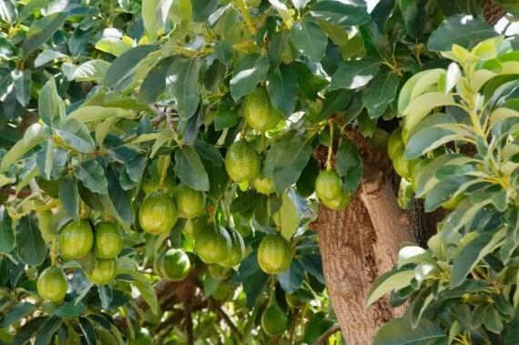 Avokado Ağacı Aşılama