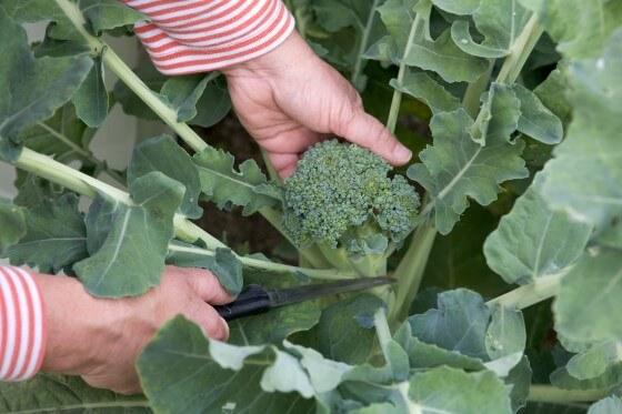Brokoli yetiştiriciliği püf noktaları