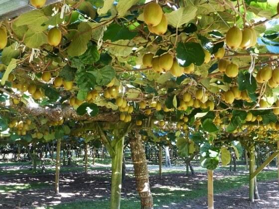 Kivi Hangi Mevsimde Meyve Verir