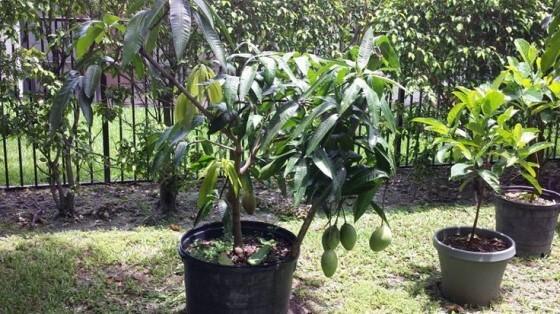 Mango Fidanı Fiyatları