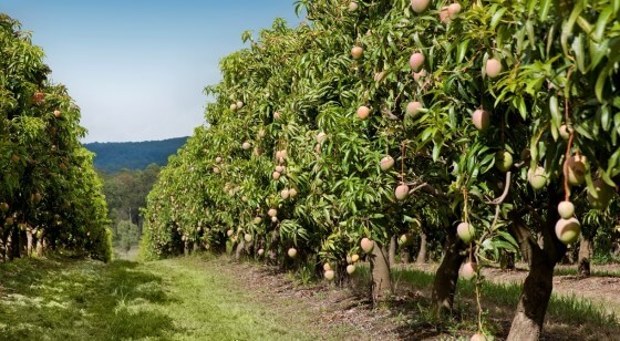 Mango Nerede Yetişir