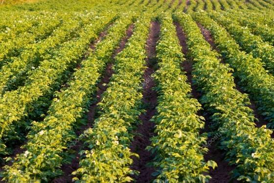 Patates Hangi Bölgede Yetişir