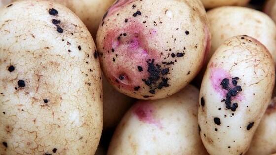 Patates Hastalıkları