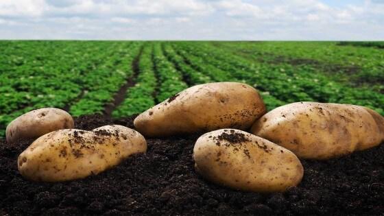 Patates Ne Zaman Ekilir