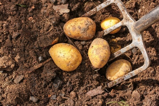 Patates Yetiştiriciliği 1