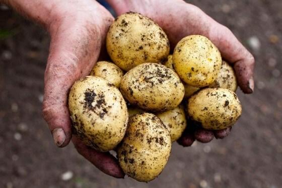 Patates Yetiştiriciliği 2