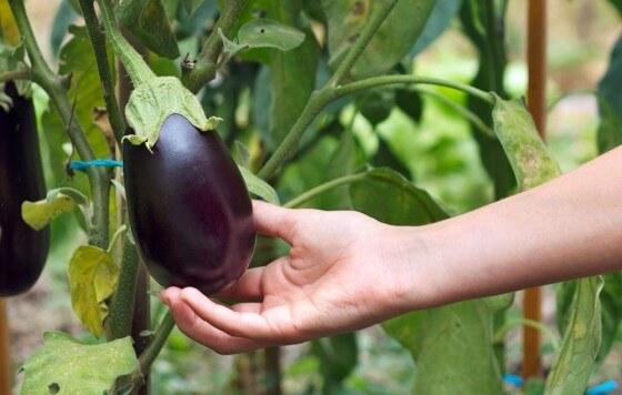 Patlıcan Tohumu ve Fidesi