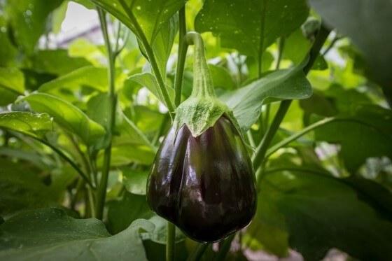 Patlıcan Yetiştiriciliği 2