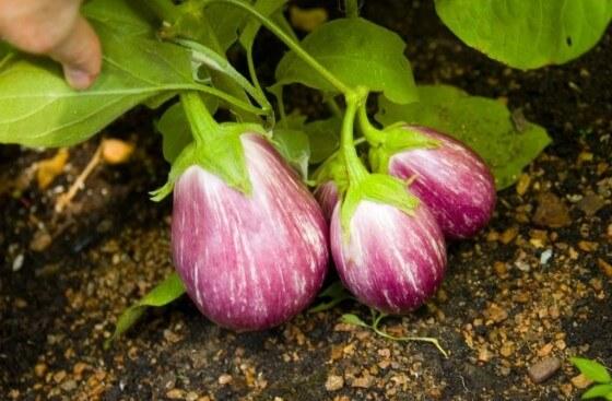 Patlıcan ekimi