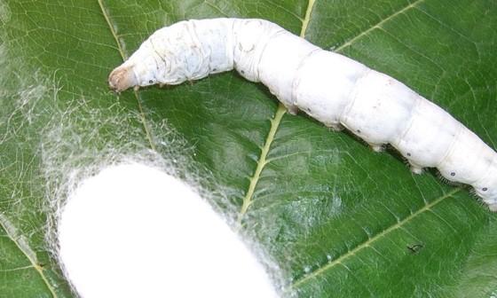 İpek Böceği Üretimi Püf Noktaları