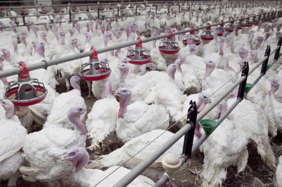 Hindi Çiftliği Maliyeti