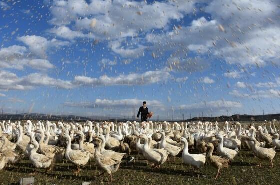 Kaz Çiftliği Devlet Desteği