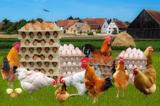Tavuk Çiftliği Kazancı ve Getirisi