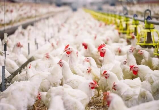 Tavuk Çiftliği Kurmak 2