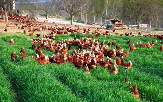Gezen Tavuk Yetiştiriciliği 1