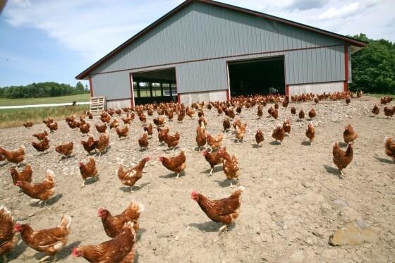 Gezen Tavuk Yetiştiriciliği 2