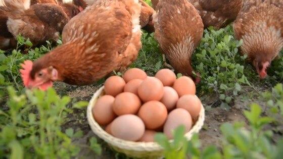 Gezen Tavuk Yumurtası Alan Firmalar