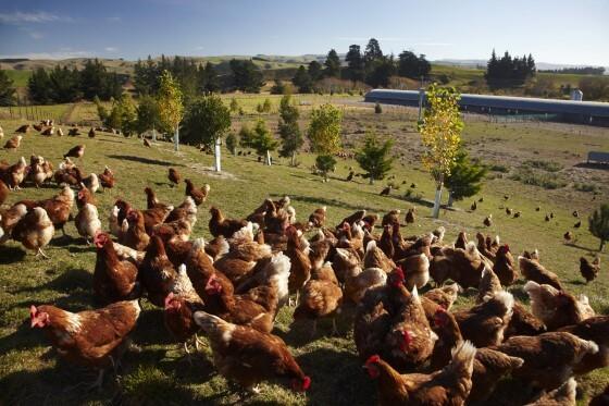 Salma Tavukçuluk Yapanların Yorumları