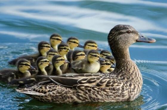 Ördek Yetiştiriciliği Kazançlı mı
