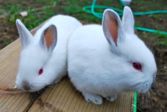 Tavşan Yetiştiriciliği 2