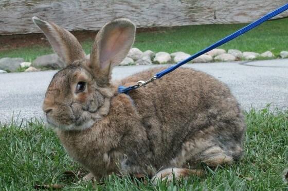 Velikan Tavşanı