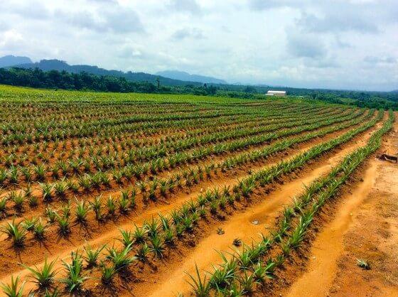 Ananas hangi iklimde yetişir