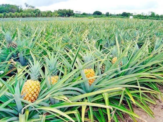 Ananas yetiştiriciliği 2