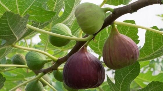 Bir ağaç kaç kilo incir verir