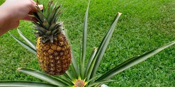 Bir dönüm tarladan ne kadar ananas çıkar