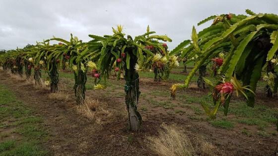 Ejder meyvesi ağacı bakımı