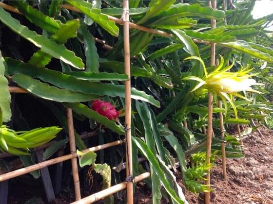 Ejder meyvesi ekimi ve gübrelemesi