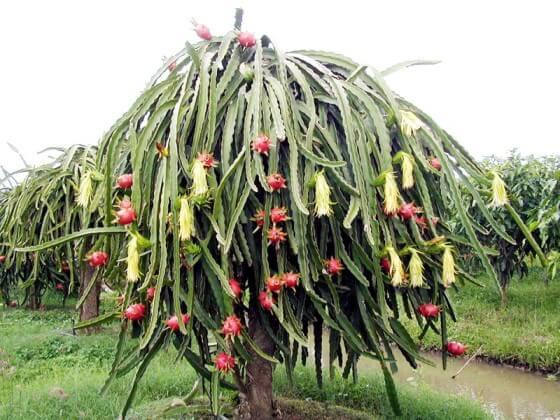 Ejder meyvesi yetiştiriciliği nasıl yapılır
