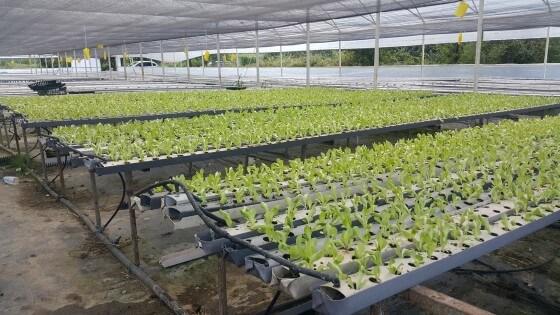 Topraksız marul yetiştirmek
