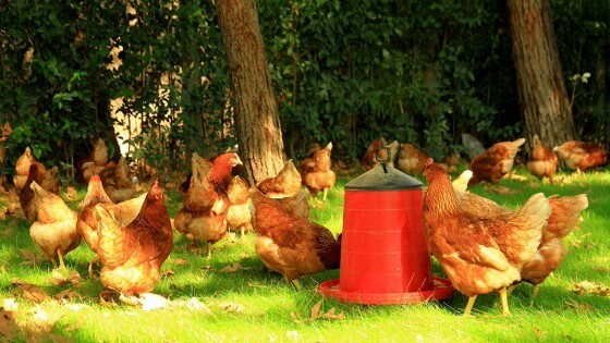 Yumurtacılık Nasıl Yapılır